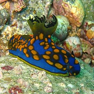 <i>Tambja</i> genus of molluscs