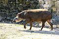 Tapir Walking (21981786206).jpg