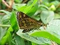 Taractrocera ceramas – Tawny-spotted Grass Dart - Tamil Grass Dart. 05.jpg