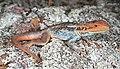 Tawny Dragon (Ctenophorus decresii) (9388501921).jpg