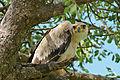 Tawny Eagle (Aquila rapax) juvenile (16715544215).jpg