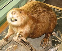 Taxidermied beaver.jpg