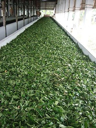 Tea processing - Image: Tea Factory Srimongol Sylhet Bangladesh 5