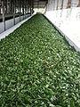 Tea Factory Srimongol Sylhet Bangladesh 5.JPG