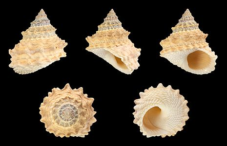 Shell of a Pagoda Prickly Winkle, Tectarius pagodus