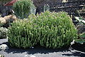 Teguise Guatiza - Jardin - Euphorbia cooperi 04 ies.jpg