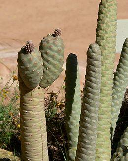 Tephrocactus articulatus inermis close