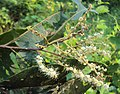 Terminalia paniculata flowers 6.JPG