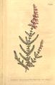 The Botanical Magazine, Plate 484 (Volume 14, 1800).png