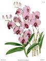 The Orchid Album-01-0116-0038-Dendrobium bigibbum.png