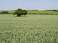 The Ovington Gospel Oak in summer, Gander Down - geograph.org.uk - 187996.jpg