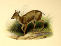 The book of antelopes (1894) Cephalophus monticola.png