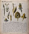 The dissected flowers of five plants; a grass, rye, wheat, v Wellcome V0044551.jpg