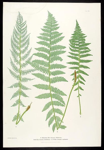 File:The ferns of Great Britain and Ireland (Plate XXXI) BHL301873.jpg
