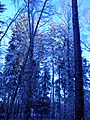 The winter forest. November 2013 (3). - Зимний лес. Ноябрь 2013 (3). - panoramio.jpg