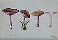 The wood blewit fungus (Lepista nuda); four fruiting bodies. Wellcome V0043335.jpg