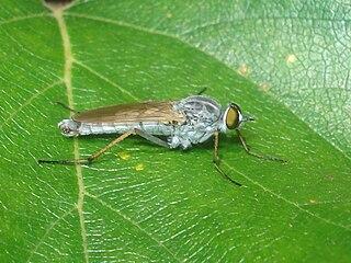 <i>Acrosathe</i> genus of insects