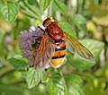 This Is Not A Hornet (Explored 25.08.15) (20826634011).jpg