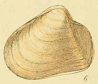 <i>Thracia convexa</i> species of mollusc