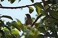 Thraupidae sp. (30579787612).jpg
