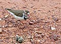 Three-banded Plover (Charadrius tricollaris) female returning to its nest in the middle of the road (!) (11927077296).jpg