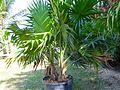 Thrinax Radiata (Florida Thatch Palm) (28278672133).jpg