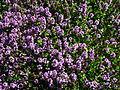 Thymus citriodorus 01.JPG