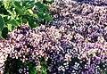 Thymus serpyllum 2.jpg