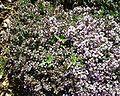 Thymus vulgaris8.JPG