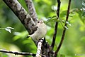 Tickell's Flowerpecker or Pale-billed Flowerpecker (27718047352).jpg