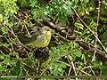 Tickell's Leaf Warbler (Phylloscopus affinis) (41409859520).jpg