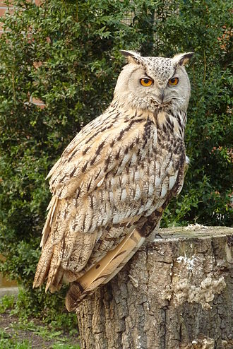 Eurasian eagle-owl - B. b. omissus at Tierpark Berlin, Germany