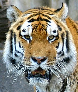 Patterns in nature - Image: Tiger berlin 5 symmetry