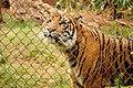 Tiger (5213310427).jpg