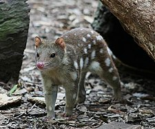 Tiger quoll Featherdale.jpg
