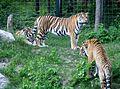 Tigre de Sibérie (Panthera tigris altaica) (2).jpg