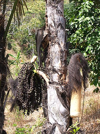 Palm wine - Tapping palm sap in East Timor