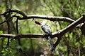 Tockus deckeni -Samburu National Reserve, Kenya-8.jpg