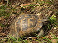 Tortoise. on leaves.JPG