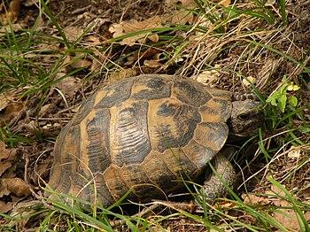 Tortoise. on leaves.JPG