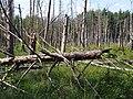 Totholz in Müritz NP bei Serrahn.jpg
