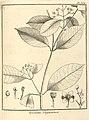 Tovomita guianensis Aublet 1775 pl 364.jpg