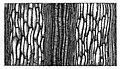 Trans. Linn. Soc. London - Volume 20 - Plate 24 - Figure C.jpg