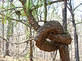 Tree Knot.jpg