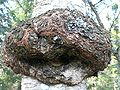 Tree cancer betula verrucosa 2 beentree.jpg
