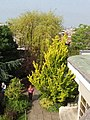 Trees of The Roof Gardens, Kensington - geograph.org.uk - 464469.jpg