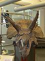 Triceratops Fossil.JPG
