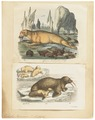 Trichechus rosmarus - 1700-1880 - Print - Iconographia Zoologica - Special Collections University of Amsterdam - UBA01 IZ21100001.tif