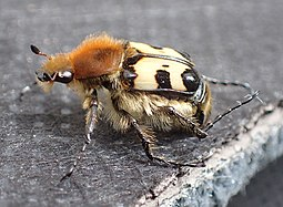 Trichius fasciatus male side.jpg
