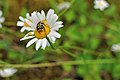 Trichius fasciatus on a daisy.jpg